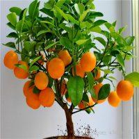 indoor orange dwarf fruit tree
