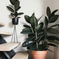 indoor rubber plant
